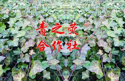 河南省许昌市鄢陵县爬山虎 1米以下 1公分以下