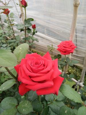云南省昆明市呈贡区法国墨红玫瑰