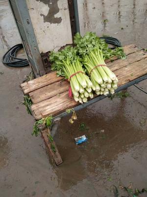 河南省开封市开封县西芹 55~60cm 大棚种植 2.0~2.5斤