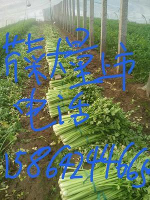 山东省青岛市莱西市西芹 55~60cm 大棚种植 0.5斤以下