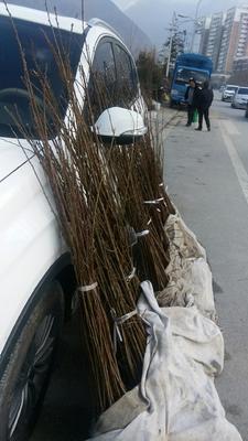 这是一张关于青李子苗的产品图片