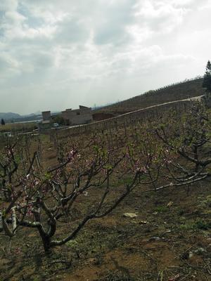 贵州省安顺市平坝县水晶葡萄 10%以下 1次果 1-1.5斤