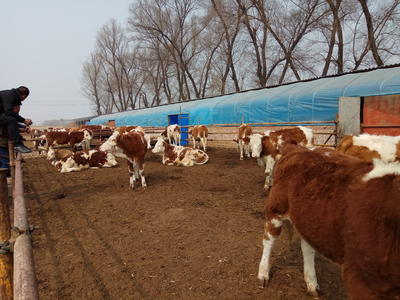 山西省忻州市忻府区西门塔尔牛 200-300斤 统货