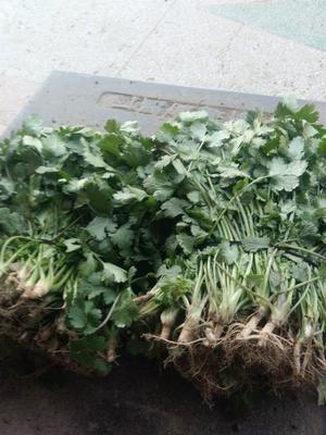 江苏省无锡市滨湖区大叶香菜 30~35cm