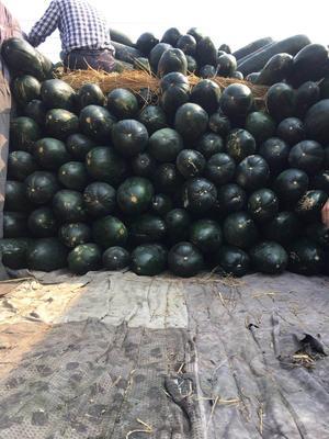 广东省揭阳市惠来县子弹头黑皮冬瓜 15斤以上 黑皮