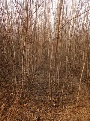 山东省泰安市岱岳区金叶复叶槭