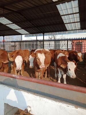 山东省菏泽市巨野县改良肉牛 200-300斤 统货