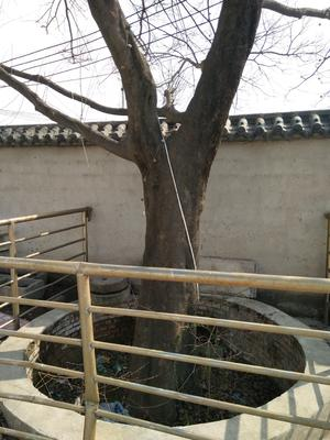 安徽省宿州市埇桥区厚朴树