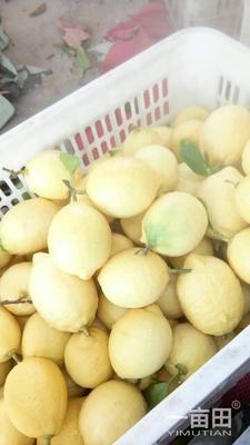四川省资阳市安岳县安岳柠檬 2.7 - 3.2两