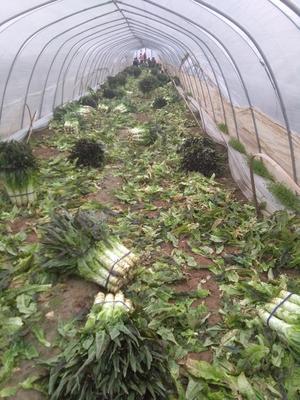 安徽省宿州市埇桥区紫叶香莴笋 60-70cm 2斤以上