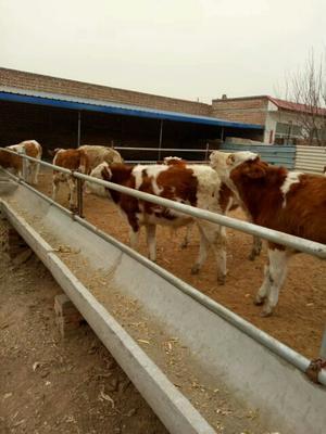 山西省忻州市定襄县肉牛 200-300斤 公牛