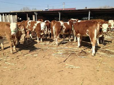 这是一张关于西门塔尔牛 200-300斤 统货的产品图片