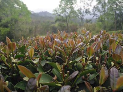 广东省惠州市博罗县柏塘山茶 散装 特级
