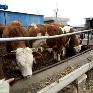 山西省太原市杏花岭区西门塔尔牛 200-300斤 公牛