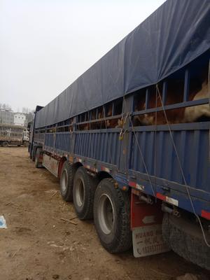 贵州省毕节市威宁彝族回族苗族自治县三元杂交牛 200-300斤 统货