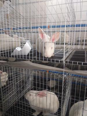 陕西省西安市未央区肉兔 5斤以上