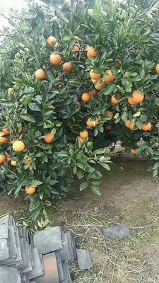 重庆万州区奉节脐橙 65 - 70mm 4两以下