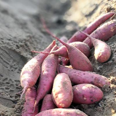 海南省琼海市琼海市红心红薯 红皮 3两以上