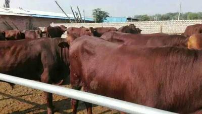 山西省忻州市忻府区利木赞牛 400-600斤 统货