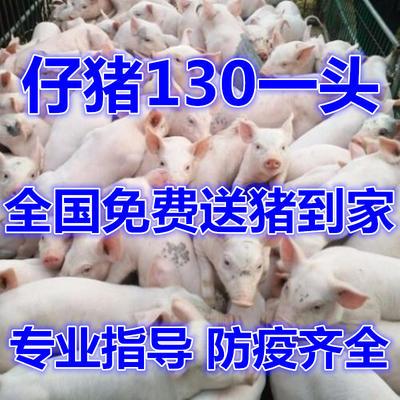 这是一张关于三元仔猪的产品图片