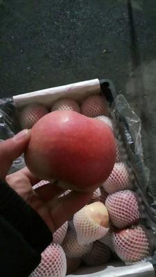 安徽省合肥市肥东县红富士苹果 膜袋 表光 75mm以下