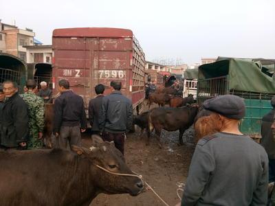 这是一张关于肉牛 200-300斤 公牛的产品图片