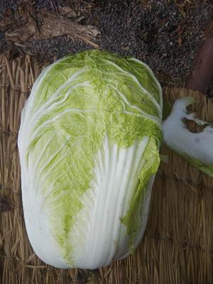 山东省青岛市莱西市青杂三号白菜 3~6斤 净菜