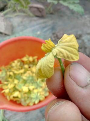 江苏省盐城市东台市8424西瓜 有籽 1茬 9成熟 4斤打底