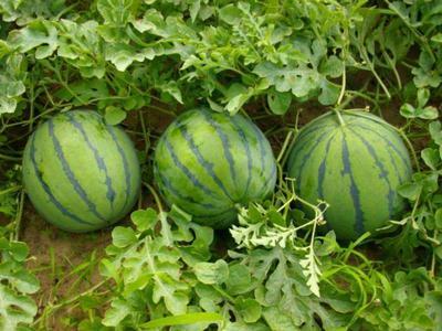 河北省保定市清苑县甜王西瓜 有籽 1茬 8成熟 8斤打底