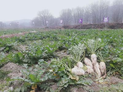 贵州省铜仁市江口县白萝卜 1~1.5斤