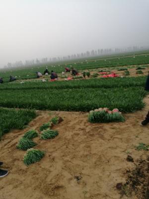 山西省运城市河津市平韭6号韭菜 头茬 20~30cm