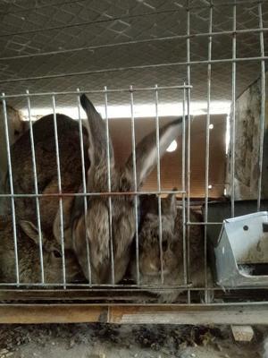 山东省济宁市嘉祥县獭兔种兔 3-5斤