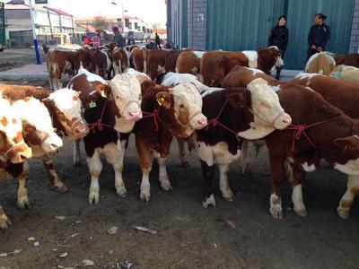 山西省忻州市定襄县西门塔尔牛 400-600斤 统货