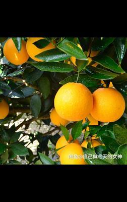 天津东丽区秭归脐橙 55 - 60mm 4两以下