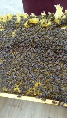 贵州省遵义市遵义县中华蜜蜂