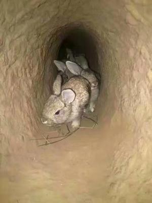 陕西省榆林市绥德县杂交野兔 5斤以上