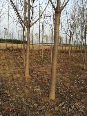 陕西省西安市长安区七叶树