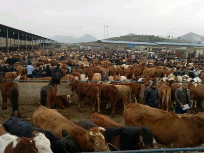 贵州省毕节市威宁彝族回族苗族自治县三元杂交牛 400-600斤 公牛