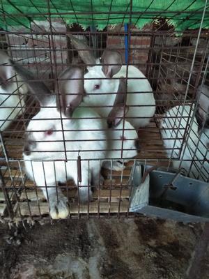 广东省广州市增城区法系獭兔 5斤以上