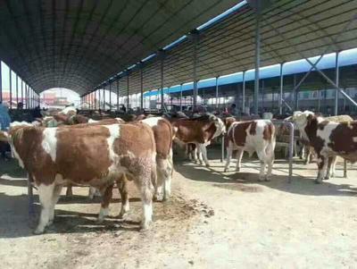 山西省忻州市忻府区改良黄牛 400-600斤 统货