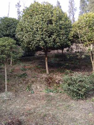 陕西省安康市汉阴县桂花树