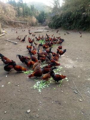 这是一张关于土鸡 统货 3-4斤的产品图片