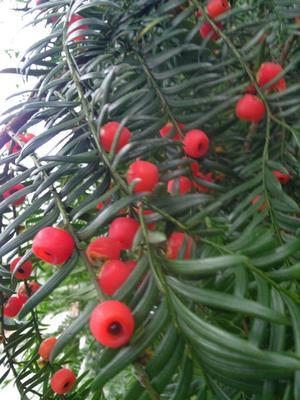 这是一张关于红豆杉种子的产品图片