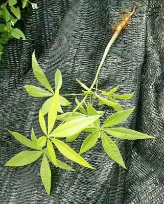 广东省广州市荔湾区独杆发财树