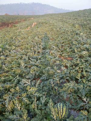 云南省西双版纳傣族自治州勐腊县老挝超级甜王 有籽 1茬 9成熟 10斤打底