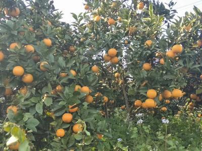 埃及糖橙苗 嫁接苗 0.5~1米