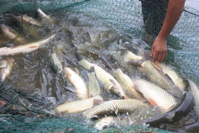 北京平谷区池塘草鱼 人工养殖 0.5-3公斤