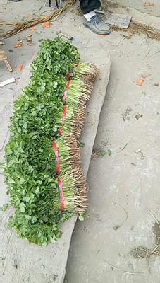 四川省成都市彭州市大叶香菜 25~30cm