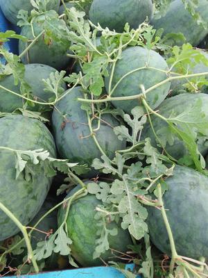安徽省宿州市泗县8424西瓜 有籽 1茬 9成熟 6斤打底