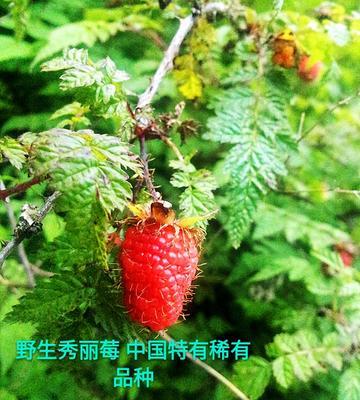 重庆奉节县野生秀丽莓 20克以下